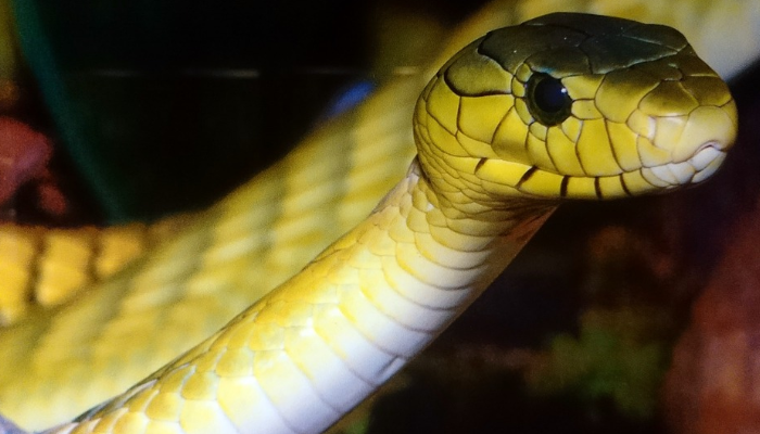 yellow snake in dream